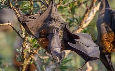 Grey-headed flying fox with pup adult,young,parental care,hanging,mum,pup,wings,protection,endemic,parent,mother,bat,bats,flying foxes,flying fox,Wild,Mammalia,Mammals,Pteropodidae,Chordates,Chordata,Chiroptera,Bats,Animalia,polioce