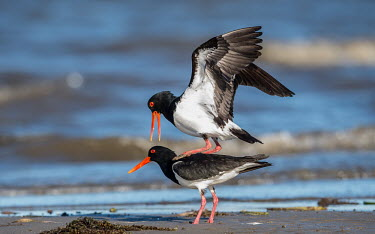 Breeding pair of pied oystercatchers shallow focus,standing on back,mating behaviour,shore,shoreline,beach,mating,breeding,sexual reproduction,reproduction,bird,birds,aves,Charadriiformes,Haematopodidae,Wild,Aves,Birds,Shorebirds and Ter