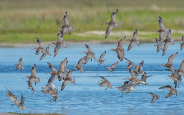 A flock of bar-tailed godwit at Lake Wollumboola. flock,flight,adults,landing,shorebirds,group,flying,aves,bird,birds,Charadriiformes,Scolopacidae,Wild,Sandpipers, Phalaropes,Shorebirds and Terns,Chordates,Chordata,Aves,Birds,Ciconiiformes,Herons Ibi