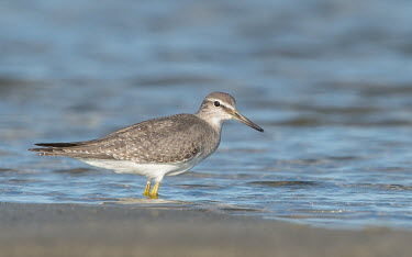 Sandpiper shorebird,wader,portrait,shallow focus,negative space,aves,birds,bird,sandpipers,waders,Wild