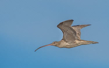 Eastern Curlew flight,blue sky,adult,wings,beak,detail,streamlined,bird,birds,aves,Charadriiformes,Scolopacidae,flying,in flight,pattern,Wild,Sandpipers, Phalaropes,Chordates,Chordata,Ciconiiformes,Herons Ibises Sto