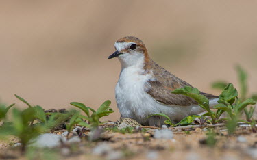Red-capped plover sitting on nest with two eggs adult,parental behaviour,eggs,nest,breeding,incubation,protection,shallow focus,negative space,care,feathers,endemic,Aves,bird,Birds,bird nest,parent,reproduction,Wild,Charadriidae,Lapwings, Plovers,C