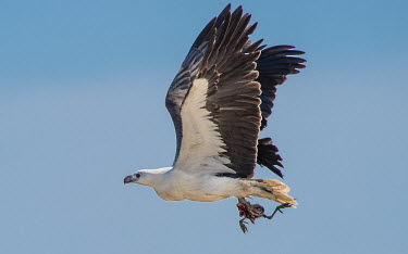 White-bellied sea-eagle in flight holding remains of prey adult,predator,prey,flight,wings,feathers,feet,bird of prey,birds of prey,eagles,aves,birds,bird,Wild,Falconiformes,Hawks Eagles Falcons Kestrel,Aves,Birds,Accipitridae,Hawks, Eagles, Kites, Harriers,