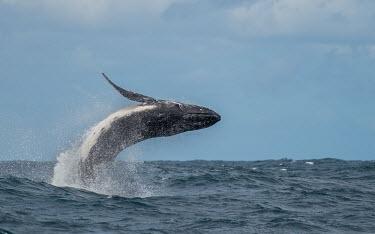 Humpback whale breaching breaching,splash,oceans,water,marine,sea,spray,surface,whales,cetaceans,cetacean,Wild,Rorquals,Balaenopteridae,Cetacea,Whales, Dolphins, and Porpoises,Chordates,Chordata,Mammalia,Mammals,South America