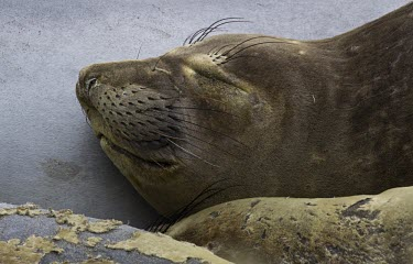 Sleeping elephant seal elephant seal,elephant seals,seal,seals,Mirounga,Phocidae,carnivore,Carnivora,mammal,mammals,Mammalia,Chordata,sleep,sleeping,close-up,fur,whiskers,pinneped,pinnepeds
