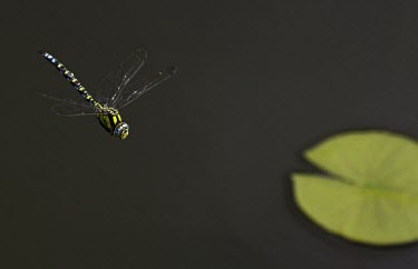 Southern hawker in flight Southern hawker,Aeshna cyanea,hawker,hawkers,dragonfly,dragonflies,insect,insects,Insecta,male,adult,flight,in flight,shallow focus,negative space,pond,lilypad,Arthropoda,Arthropod,Hexapoda,Hexapod,Od