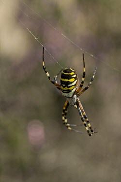 Wasp spider Argiope bruennichi,wasp spider,spider,spiders,orb-web spider,orb-web spiders,Arthropoda,arthropod,Arachnida,arachnid,Araneae,Araneidae,web,spider web,spiders web,silk,shallow focus,pattern,stripes,str