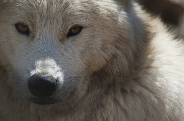 Arctic wolf Arctic wolf,Canis,lupus,wolf,wolves,Arctic,Animalia,Chordata,Mammalia,Carnivora,Canidae,mammal,mammals,carnivore,carnivores,rest,resting,close up,close-up,looking at the camera,negative space,white,fu