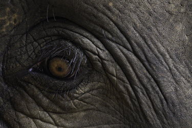 Asian elephant Asian elephant,Elephas,maximus,elephant,elephants,Animalia,Chordata,Mammalia,Proboscidea,Elephantidae,close up,close-up,eye,eye lashes,pupil,skin,texture,detail,endangered,threatened,Mammals,Elephants