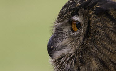 Eagle owl profile eagle owl,owl,owls,close-up,close up,bird,birds,Aves,Animalia,Chordata,Strigiformes,Strigidae,Bubo,beak,calling,eye,orange eye,profile,side,view,detail,feathers,Chordates,True Owls,Owls,Birds,Europe,b