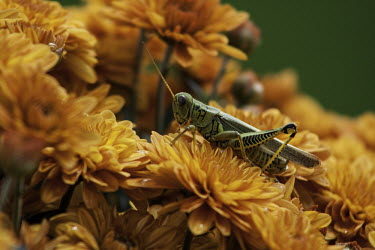 Grasshopper grasshopper,Caelifera,Orthoptera,Insecta,insect,insects,Hexapoda,Arthropoda,arthropod,arthropods,orange,flowers,colourful,colorful,shallow focus