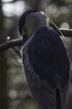 Night heron Animalia,Chordata,Aves,Pelecaniformes,Ardeidae,night heron,night-heron,heron,herons,dark,preening,nictitating membrane
