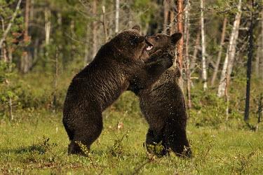 Bear Cubs Play Fighting forest,fight,play fight,splash,strength,young,bear,bears,ursidae,play fighting,cubs,mammal,mammals,Carnivores,Carnivora,Bears,Ursidae,Chordates,Chordata,Mammalia,Mammals,Africa,Semi-desert,Europe,Broa