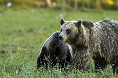 Bear Cubs Walking Through A Swamp bear,bears,ursidae,close-up,mammal,mammals,swamp,Carnivores,Carnivora,Bears,Ursidae,Chordates,Chordata,Mammalia,Mammals,Africa,Semi-desert,Europe,Broadleaved,North America,Tundra,Ursus,Appendix II,arc