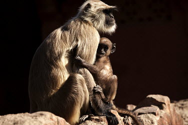 Baby langur monkey holding onto its mother langur,adult female,young,mother,protection,negative space,sitting on wall,primate,primates,langurs,monkeys,monkey,baby,cute,cuddle,hug,Cercopithecidae,mammal,mammals,mammalia,Langur Moneky,Ranthambor