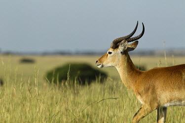 Kob Walking Through The Savannah antelope,antelopes,ungulate,ungulates,walking,action,movement,mammal,mammalia,mammals,Africa,savanna,savannah,Savannah,Wildlife,Cob,Uganda