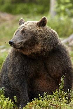 Bear Portrait bear,bears,ursidae,close-up,mammal,mammals,portrait,Carnivores,Carnivora,Bears,Ursidae,Chordates,Chordata,Mammalia,Mammals,Africa,Semi-desert,Europe,Broadleaved,North America,Tundra,Ursus,Appendix II,