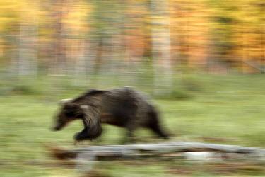 Bear on the move_Low_Res.jpg bear,bears,ursidae,action,action shot,blurred,blurry,artistic,movement,Carnivores,Carnivora,Bears,Ursidae,Chordates,Chordata,Mammalia,Mammals,Africa,Semi-desert,Europe,Broadleaved,North America,Tundra