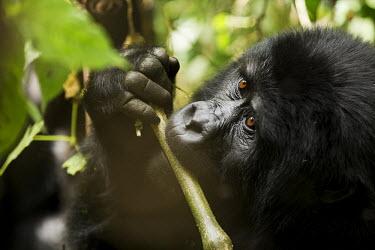 Gorilla Snacking on Bamboo Primates,primate,ape,great apes,gorillas,eating,feeding,food,close-up,face,eyes,mammal,mammals,mammalia,homonidae,Mammalia,Mammals,Chordates,Chordata,Hominids,Hominidae,Endangered,Gorilla,gorilla,Anim