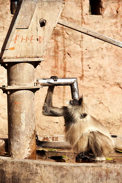 Langur Monkey Drinking langur,urban,urban wildlife,primate,primates,langurs,monkeys,monkey,Cercopithecidae,mammal,mammals,mammalia,drinking,thirsty,thirst,city,Ranthambore National Park,Monkey,India,Wildlife