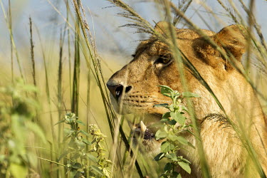 Lioness Looking for her pride Cats,cat,big cat,lions,lioness,female lion,savanna,savannah,felid,felidae,grassland,hiding,Felidae,Mammalia,Mammals,Carnivores,Carnivora,Chordates,Chordata,leo,Animalia,Savannah,Africa,Scrub,Appendix