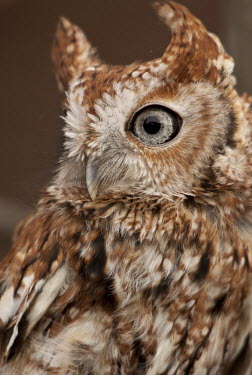 Screech owl Animalia,Chordata,Aves,Strigiformes,Strigidae,owl,owls,bird of prey,birds of prey,bird,birds,camouflage,pattern,feathers,large eye,soft,eye,ears,ear,eared