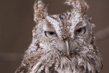 Screech owl Animalia,Chordata,Aves,Strigiformes,Strigidae,owl,owls,bird of prey,birds of prey,bird,birds,camouflage,pattern,feathers,ears,ear,eared,grumpy