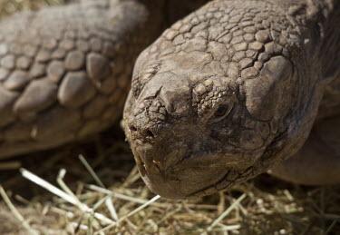 Sulcata tortoise tortoise,close up,close-up,old,Animalia,Chordata,Reptilia,Testudines,Testudinidae,reptile,reptiles,tortoises,turtle,turtles,Chordates,Turtles,Tortoises,Reptiles,Semi-desert,Desert,Savannah,Africa,Herb