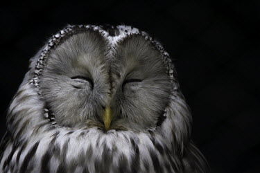 Ural owl Animalia,Chordata,Aves,Strigiformes,Strigidae,Strix,uralensis,eyes,closed,negative space,shallow focus,face