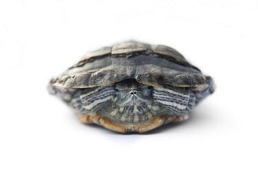 Red-eared slider in shell turtle,turtles,tortoise,tortoises,shell,arty,white background,high key,shallow focus,negative space,centre,center,hide,hiding,Turtles,Testudines,Chordates,Chordata,Pond Turtles,Emydidae,Reptilia,Repti