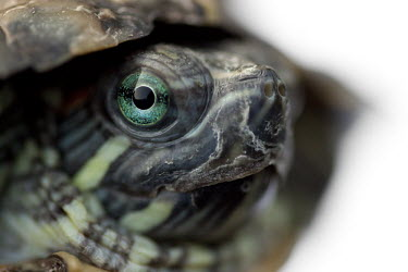 Turtle eye turtle,turtles,tortoise,tortoises,arty,shallow focus,negative space,eye,unusual,striking,looking at camera,Turtles,Testudines,Chordates,Chordata,Pond Turtles,Emydidae,Reptilia,Reptiles,Fresh water,Aqu