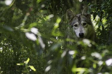 Wolf wolf,wolves,Animalia,Chordata,Mammalia,Carnivora,Canidae,hidden,undergrowth,shallow focus,Canis,lupus,Dog, Coyote, Wolf, Fox,Chordates,Mammals,Carnivores,Rock,Desert,Wetlands,Broadleaved,Coniferous,Tu