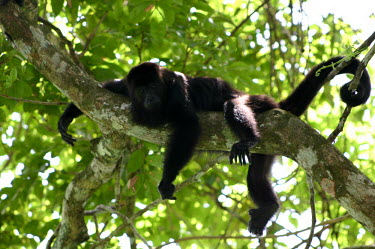 Back howler monkey in tree monkey,resting,tree,branch,black,hanging,prehensile tail,primate,Chordates,Chordata,Mammalia,Mammals,Primates,South America,Least Concern,Atelidae,IUCN Red List,Appendix II,CITES,Terrestrial,Forest,He