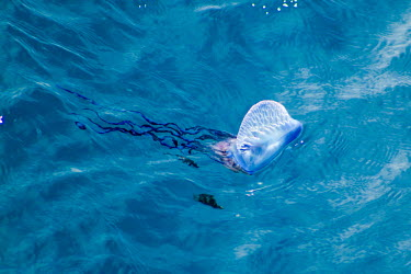 Portuguese man o' war with fish below bluebottle,floating terror,marine,cnidarian,venomous,tentacles,painful,sting,floating,sea,pair,water,ripples,siphonophore,colony,zooids,surface,gas-filled bladder,pneumatophore,wind,current,tide,venom