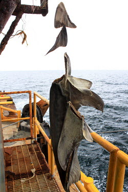 Fins fishing,fins,finning,at sea,marine,boat,trawler,dead,illegal