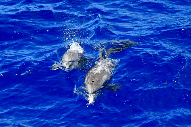 Atlantic spotted dolphins movement,blue water,jumping,swimming,splash,breath,breathe,air,pair,two,mother,calf,young,adult,dolphins,Cetacea,Whales, Dolphins, and Porpoises,Chordates,Chordata,Mammalia,Mammals,Oceanic Dolphins,De