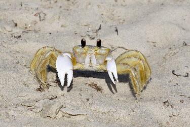 Ghost crab crab,portrait,sand,beach,shore,eyes,claws,beach cleaner,scavenger,marine,crustacean