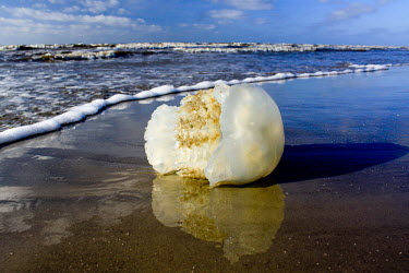 Stranded jellyfish marine,cnidarian,sea,beach,coast,washed up,waves,strand line,reflection,low angle