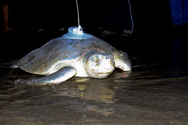 Kemps ridley turtle returning to the sea sea turtle,beach,nesting,West End beach,reproduction,tag,tagged,scientific research,sea,marine,satellite tagged,at night,turtles,reptiles,Turtles,Testudines,Chordates,Chordata,Reptilia,Reptiles,Sea Tu