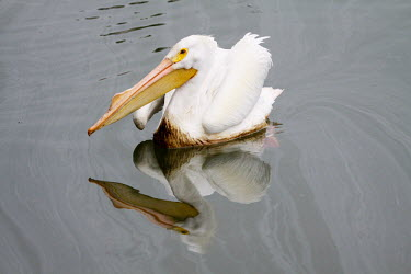 American white pelican soiled by oil oil spill,pollution,marine pollution,oil,slick,crude,wildlife,conservation,disaster,reflection,graceful,water surface,birds,bird,threats,environmental,Aves,Birds,Ciconiiformes,Herons Ibises Storks and