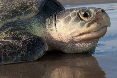 Kemps ridley turtle returning to the sea sea turtle,beach,reflections,nesting,West End beach,reproduction,tag,tagged,scientific research,sea,marine,close-up,satellite tagged,turtle,sea turtles,reptiles,conservation,Turtles,Testudines,Chordat