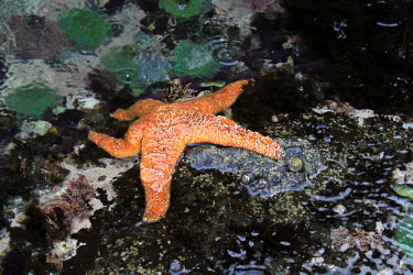 A starfish in a tidal pool, one of the few fortunate that had not succumbed to Sea Star Decline. starfish,pool,rockpool,orange,colourful,water,coast,coastal,drips,fish