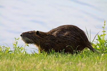 Coypu - non-native species in the United States non-native,introduced,pest,wetlands,water,feeding,adult,whiskers,rat,nutria,river rat,Chordates,Chordata,Rodents,Rodentia,Mammalia,Mammals,Herbivorous,Fresh water,Streams and rivers,Terrestrial,Animal