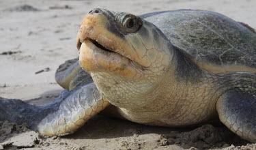 Kemps ridley turtle returning to the sea sea turtle,beach,nesting,reproduction,sea,marine,close-up,turtle,sea turtles,reptiles,Turtles,Testudines,Chordates,Chordata,Reptilia,Reptiles,Sea Turtles,Cheloniidae,Ocean,Carnivorous,kempii,Terrestri
