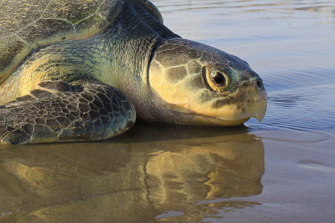Kemps ridley turtle returning to the sea sea turtle,beach,reflections,nesting,West End beach,reproduction,tag,tagged,scientific research,sea,marine,turtles,turtle,reptiles,reptile,Turtles,Testudines,Chordates,Chordata,Reptilia,Reptiles,Sea T