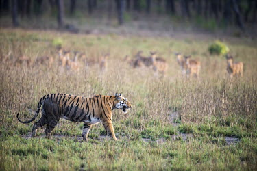 Bengal tigress being watched by chital/spotted deer (Axis axis) while walking across meadow tiger,tigers,tigress,Bengal,big cat,big cats,cat,cats,carnivore,carnivores,predators,predator,India,Asia,Panthera,tigris,Panthera tigris,walking,shallow focus,negative space,subspecies,adult,female,Pa