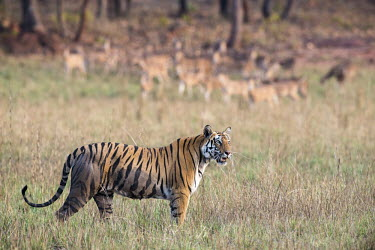 Bengal tigress being watched by chital/spotted deer (Axis axis) in meadow tiger,tigers,tigress,Bengal,big cat,big cats,cat,cats,carnivore,carnivores,predators,predator,India,Asia,Panthera,tigris,Panthera tigris,walking,shallow focus,negative space,subspecies,adult,female,Pa