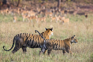 Bengal tiger mother with cub and chital/spotted deer (Axis axis) watching each other in meadow tiger,tigers,tigress,Bengal,big cat,big cats,cat,cats,carnivore,carnivores,predators,predator,India,Asia,Panthera,tigris,Panthera tigris,walking,shallow focus,negative space,subspecies,adult,female,Pa