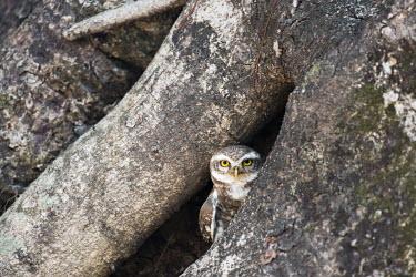 Spotted owlet (Athene brama) in Indian banyan tree (Ficus benghalensis) hollow Animalia,Chordata,Aves,Strigiformes,Strigidae,Least Concern,owl,owls,spotted owl,spotted owlet,owlets,spotted,Athene,brama,adult,camouflage,tree,hiding,peeking,yellow eyes,looking at camera,negative s