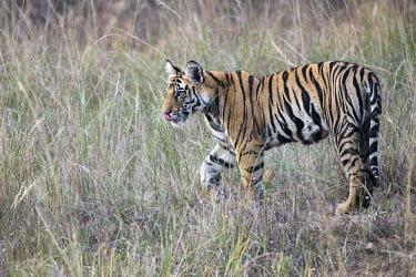 Bengal tiger (Panthera tigris tigris) cub in long grasses tiger,tigers,Bengal,big cat,big cats,cat,cats,carnivore,carnivores,predators,predator,India,Asia,Panthera,tigris,Panthera tigris,negative space,subspecies,young,cub,Panthera tigris tigris,meadow,lick,